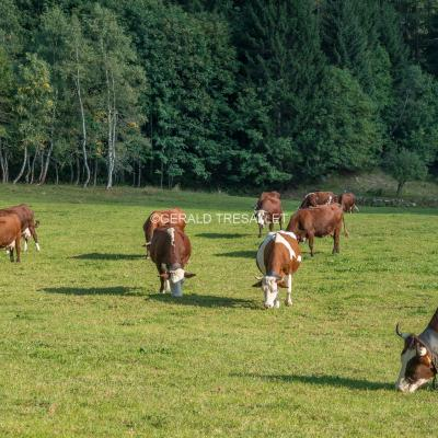Vaches-Al703170