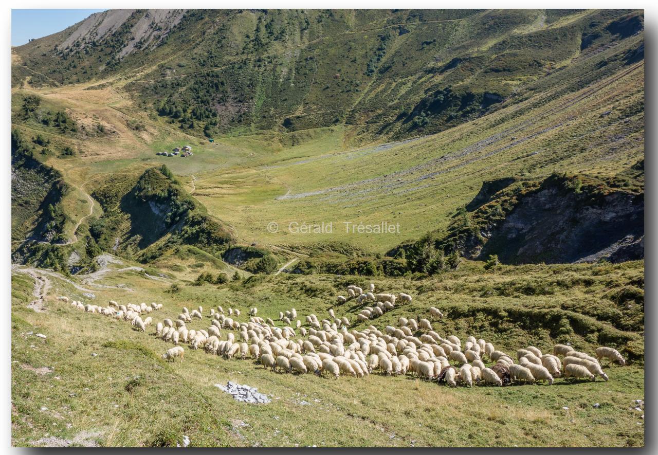 Moutons à Catogne