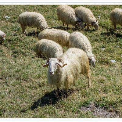 Moutons-dsc06369