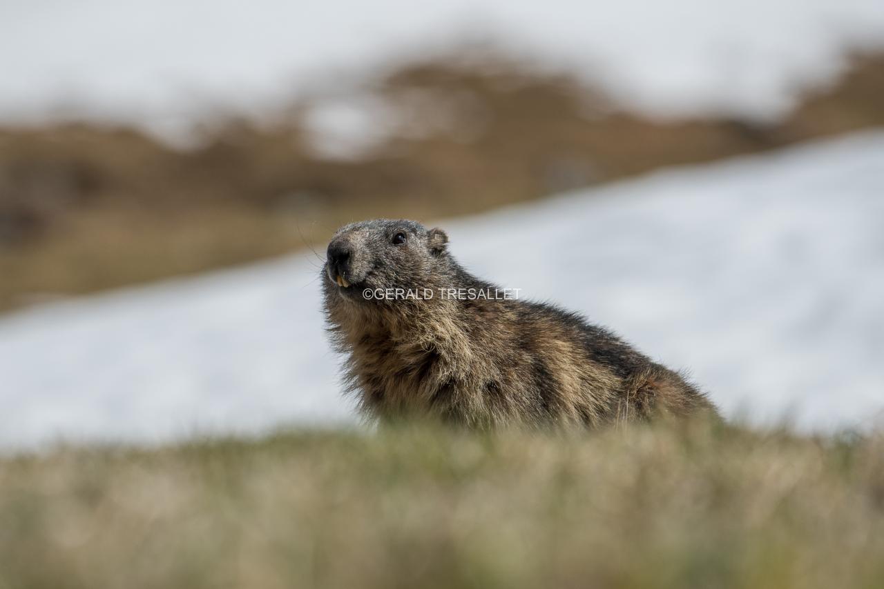 Marmotte-nik1946