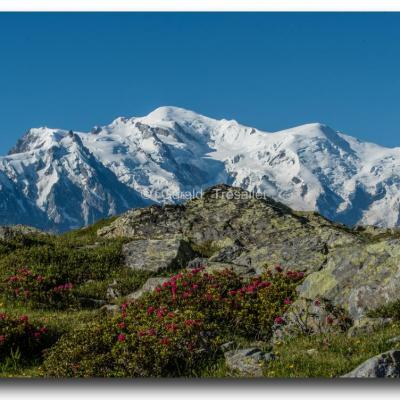 Mont-Blanc et rhododendrons.