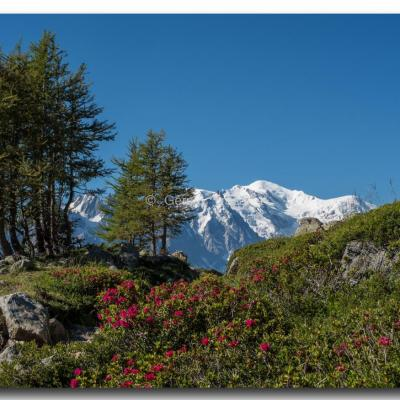 Rhododendrons et Mont-Blanc.jpeg