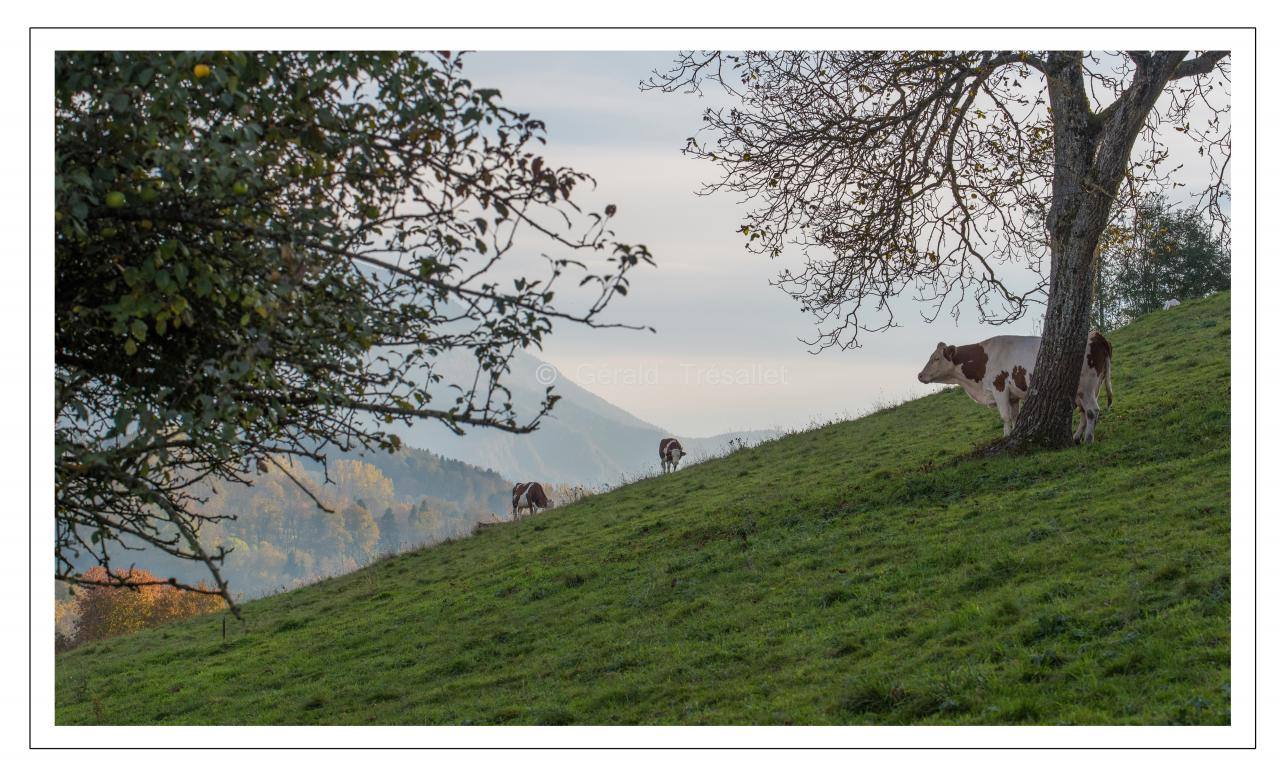 Vaches-nik5438