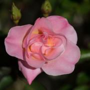 Rose_NIK8374